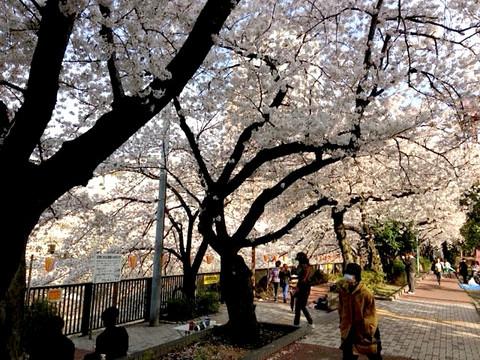 Sakura1303_2