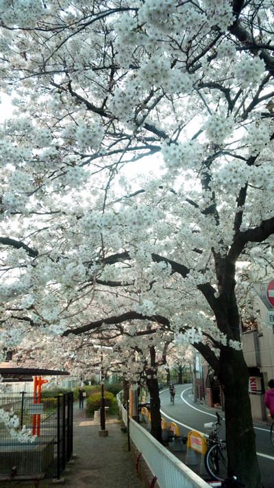Sakura120409